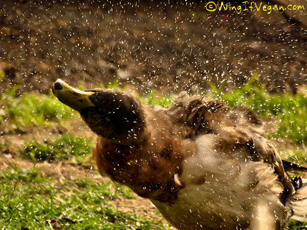 Duck tornado!