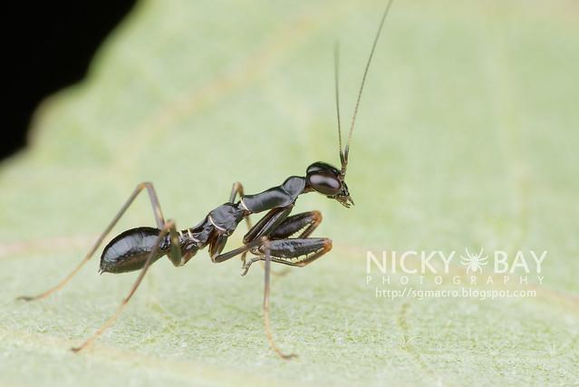 Praying Mantis (Mantodea) - DSC_5801b
