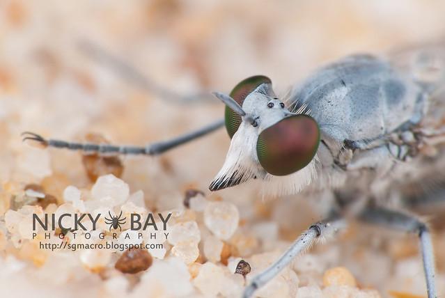 Robberfly (Asilidae) - DSC_3022