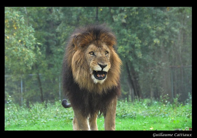 Le roi des animaux flickr photo sharing for Zoo yvelines 78