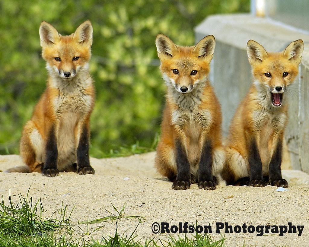 Fox pups -2
