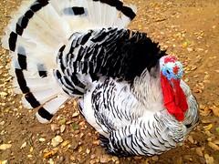 turkey(1.0), animal(1.0), wing(1.0), fauna(1.0), wild turkey(1.0), domesticated turkey(1.0), beak(1.0), bird(1.0), galliformes(1.0),