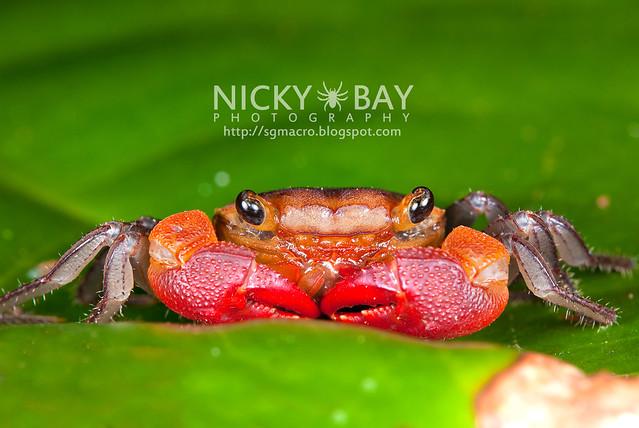 Terrestial Crab (Brachyura) - DSC_1923