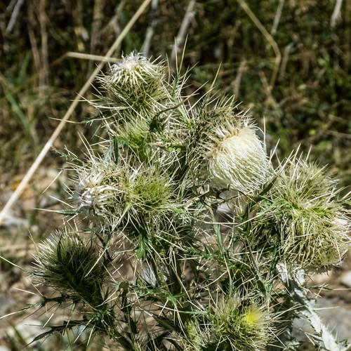 europe armenia asteraceae wildplants tsapatagh peterphoto cirsiumspinosissimum gegharkunik