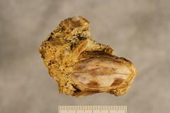 Texas coelacanth: Reidus hilli