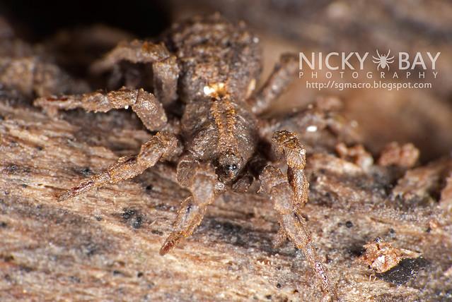 Ground Spider (Cryptothele sundaica) - DSC_0445