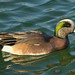 Small photo of American Widgeon s