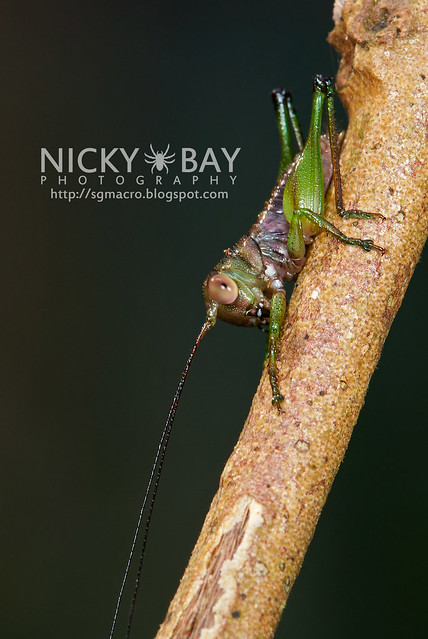 Cricket (Gryllidae) - DSC_9542