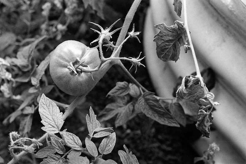 Tomato, backyard