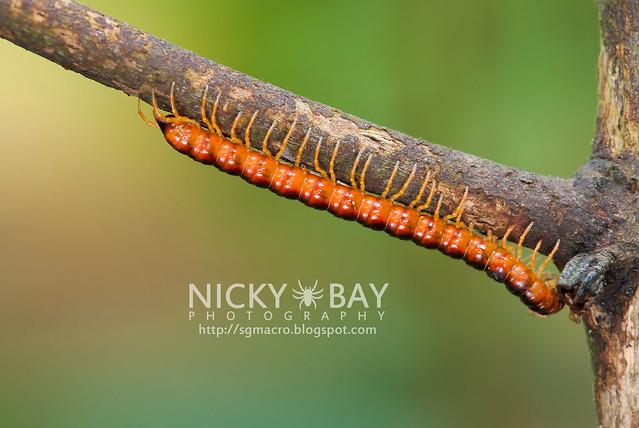 Millipede (Diplopoda) - DSC_8000