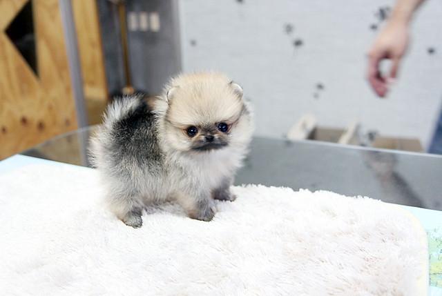Tiny teacup pomeranian puppy | Flickr - Photo Sharing!