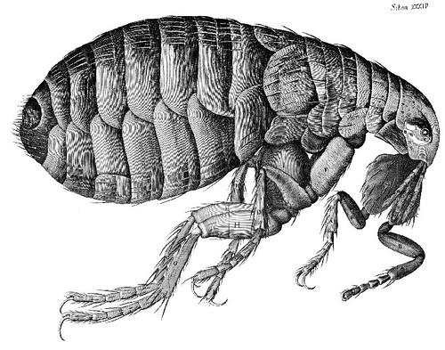 Flea_Micrographia_Hooke