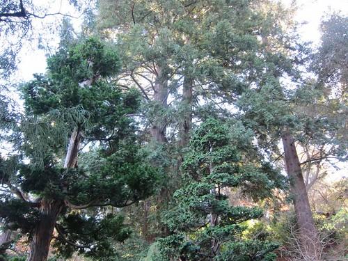Hakone Japanese Gardens, Saratoga, CA, tree IMG_2382
