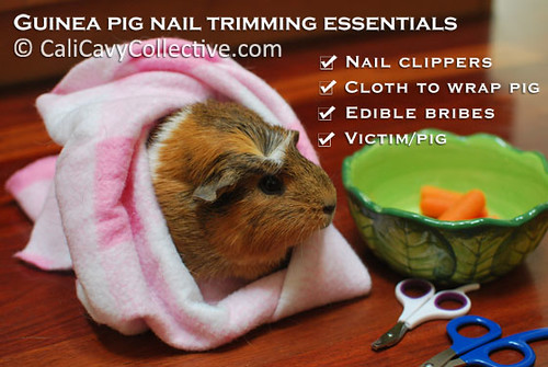Guinea pig nail trimming essentials checklist