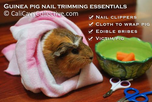 Guinea pig nail trimming essentials checklist