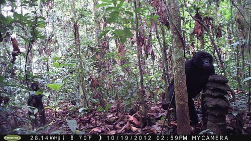 bonobo at the pagoda