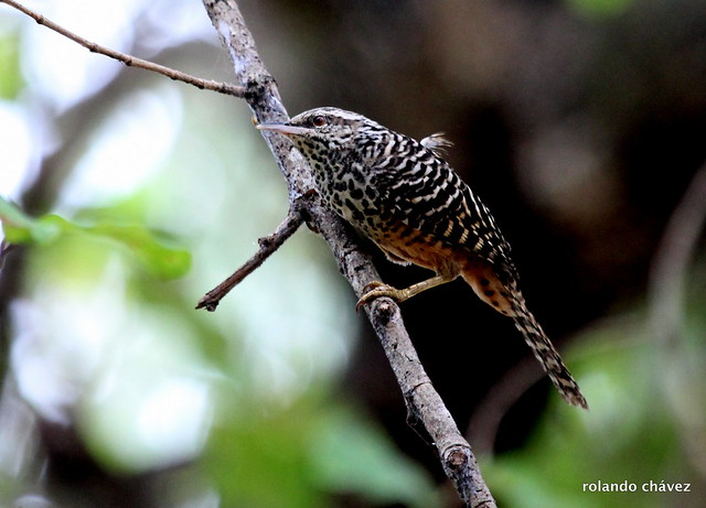 Matraca Tropical. Band-backed Wren. Campylorhynchus zonatus.