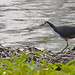 Small photo of White Breasted Waterhen (Amaurornis phoenicurus)