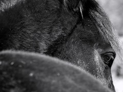 horse Gray