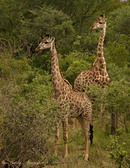 Reticulated Bushveld Towers...