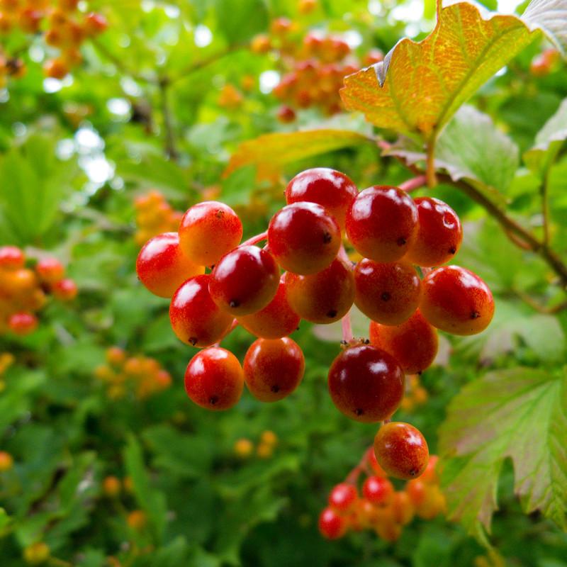 Vibernum berries, not yet ripe