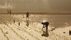 Working in rice field