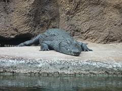 komodo dragon(0.0), animal(1.0), crocodile(1.0), zoo(1.0), reptile(1.0), nile crocodile(1.0), fauna(1.0), crocodilia(1.0), wildlife(1.0),
