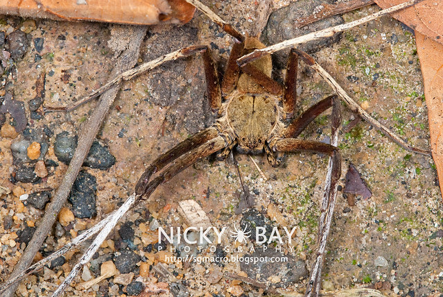 Huntsman Spider (Sparassidae) - DSC_8959