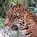 Otorongo o Jaguar del Perú