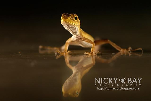 Changeable Lizard (Calotes versicolor) - DSC_7894