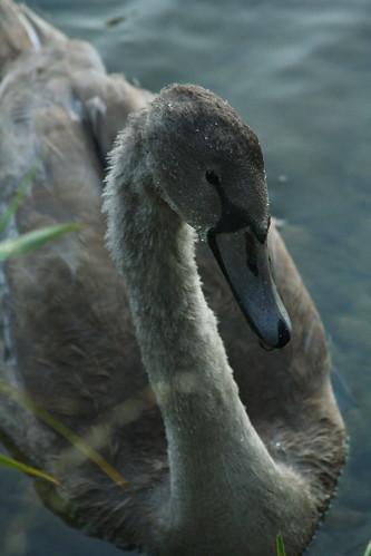 Swan by kiki5253