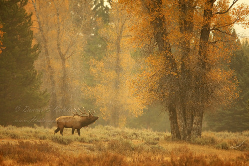 male fall nature mammal outdoors bull antlers trophy wyoming rut yellowleaves bugling explored rockymountainelk namial herdbull