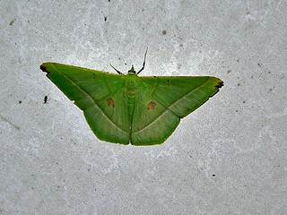 Geometrid Moth (Ornithospila esmeralda)
