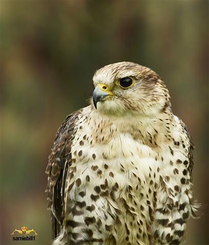 Gyrfalcon Falco rusticolus