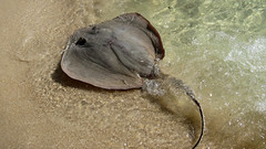 IMG_3856: Stingray on the Beach