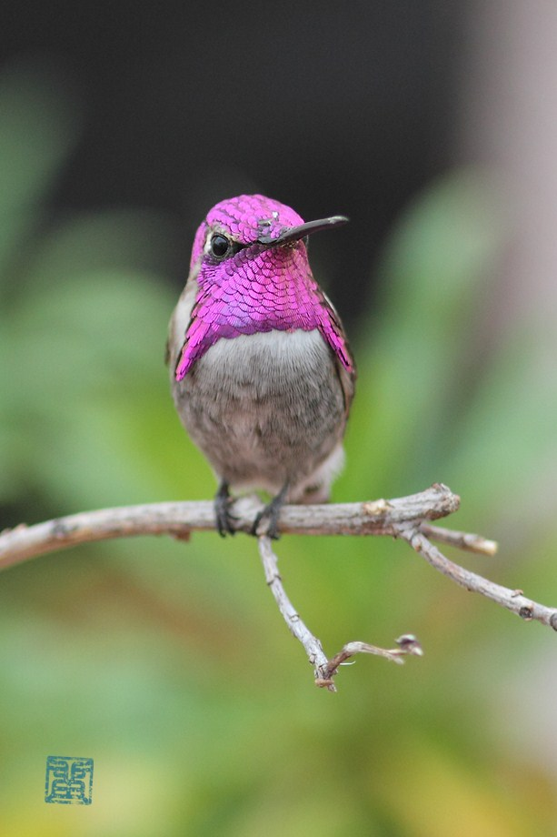 Costa's X Anna's Hybrid Hummingbird 101912