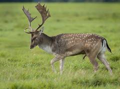 Fallow deer, stag. (Dama dama)