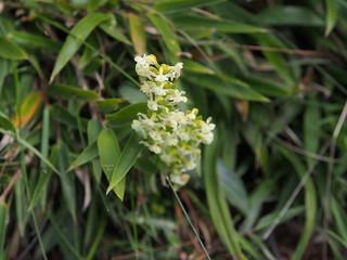 短距粉蝶蘭