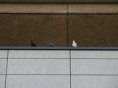 Pigeons in concrete jungle
