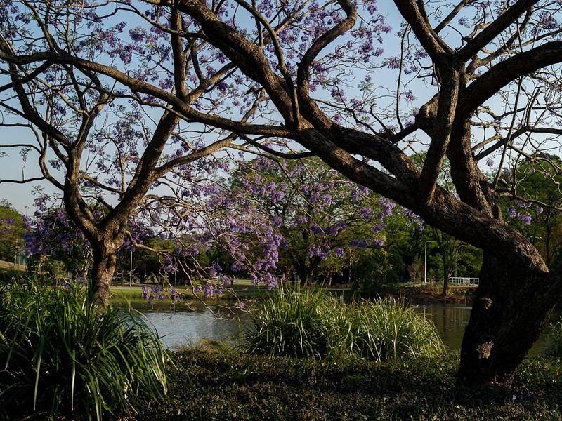 Jacaranda, UQ Lakes, Brisbane