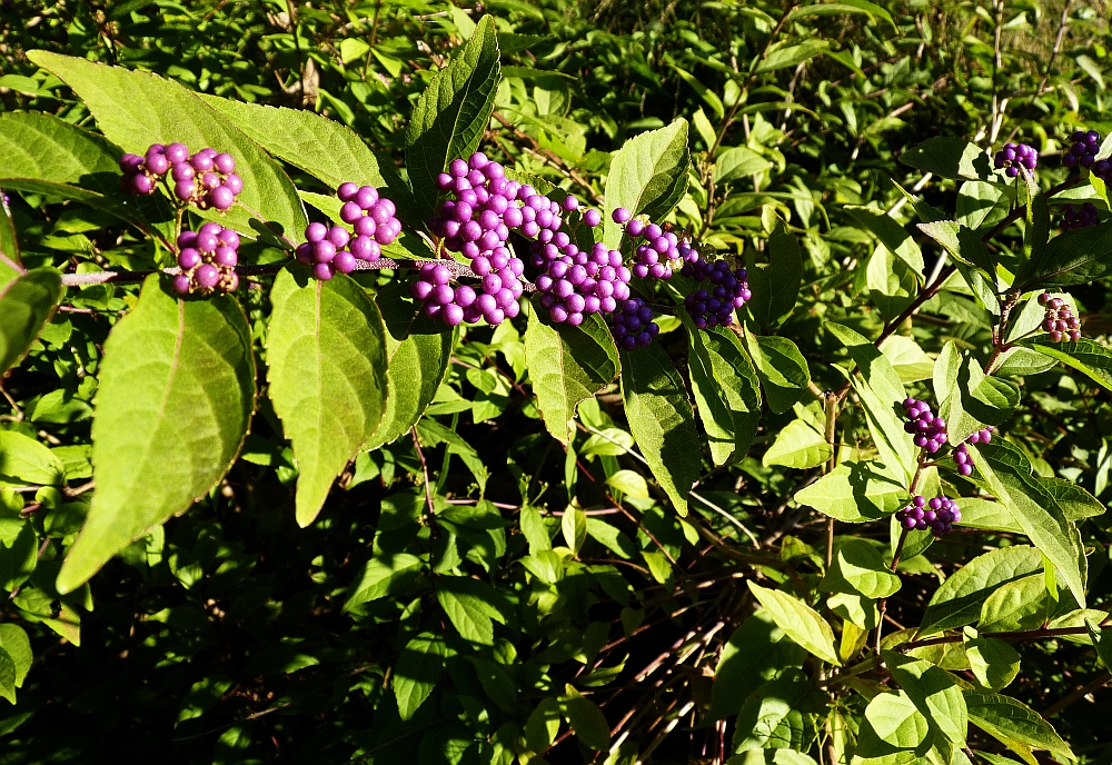 Purple Autumn Berries