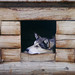 Small photo of Husky sledge dog waiting for winter