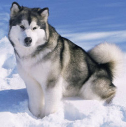 A fluffy Malamute sits in the snow.