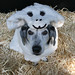 "Dog Dressed as a ""Woof in Sheep's Clothing"" by Petful.com"