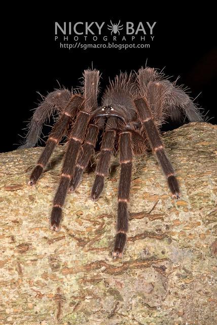 Tarantula (Phlogiellus sp.) - DSC_9977