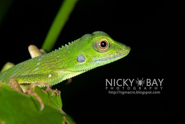 Green Crested Lizard (Bronchocela cristatella) - DSC_9378