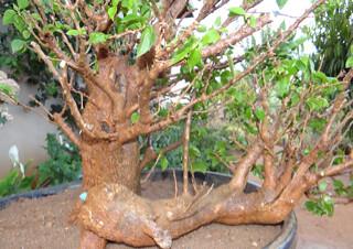 First bonsai help! 8133917402_081e5f9d9e