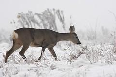 chamois(0.0), reindeer(0.0), animal(1.0), deer(1.0), winter(1.0), snow(1.0), fauna(1.0), white-tailed deer(1.0), wildlife(1.0),
