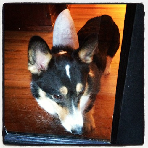 Oct 31, 2012 - Nappy is patiently waiting for the trick-or-treaters in his (land) shark fin! #corgi