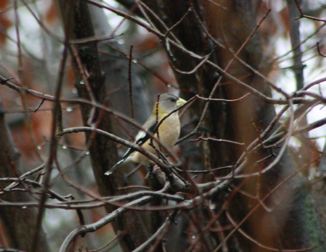 Evening Grosbeaks, Indiana County, PA 11-1-2012